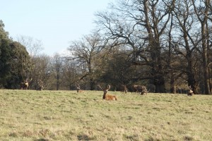 Deer Windsor park