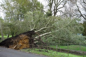 Tree upended Wraysbury green. smallJPG