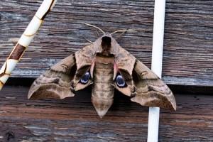 moth-2432376__340